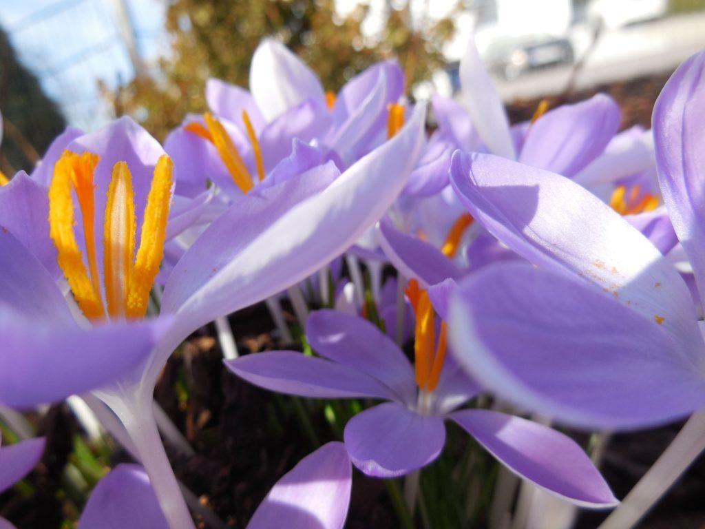 Fotografie von violetten Krokussen