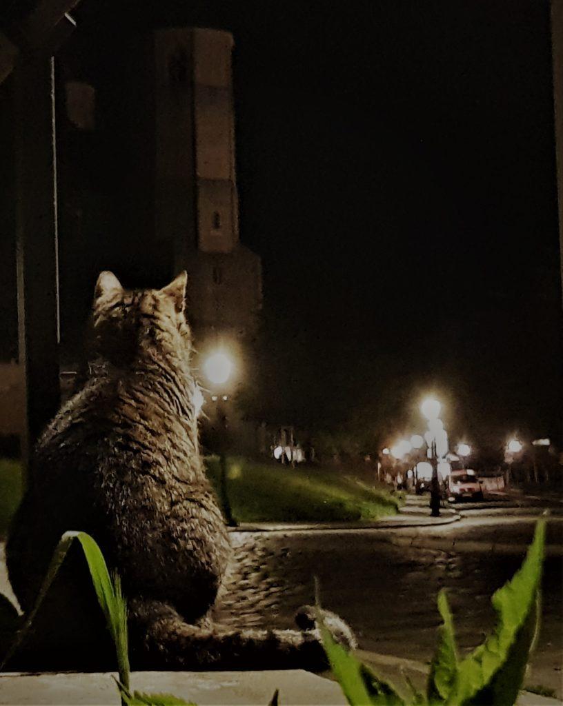 Eine sitzende Katze von Hinten. Es ist Nacht. Sie schaut die Straße hinunter. Straßenlaternen leuchten die Umgebung aus, sodass der Kopfsteinpflaster und die links, im Blickfeld der Katze liegende St. Godehard-Kirche mit der davorliegenden Wiese zu sehen sind.